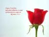 Бутон розы сбоку