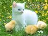 Котенок с цыплятами